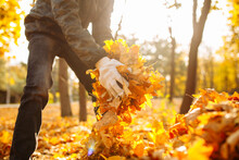 Close-up Shot Of A Boy Collecting Yellowed Foliage In A Park Or Forest. Territory Cleaning, Autumn Landscape. A Male Volunteer Is Cleaning Up Leaves.
