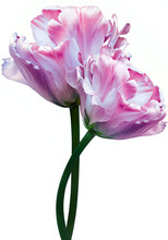 Pink Tulips. Flowers On White Isolated Background With Clipping Path. Closeup.  Buds Of A Tulips On A Green Stalk. Nature.