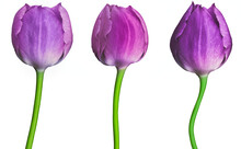 Set Tulips Purple  Flowers Isolated On A White Background. Close-up. Flower Buds On A Green Stem. For Design. Nature.