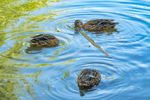 Three Siberian Mallard Ducks Are Swimming In A Pond And Lowering Their Heads Into The Water, Fishing, Looking For Food Under The Water