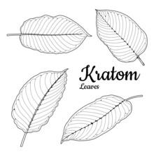Mitragyna Speciosa Or Kratom Leaves Sketch Illustration Vector