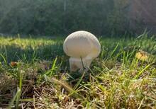Gem-studded Puffball Mushroom In The Grass On A Sunny Autumn Day