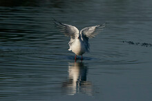 Black-headed Gull (Chroicocephalus Ridibundus) Displaying With Wings Outstretched On A Lake At Ham Wall Nature Reserve In Somerset, England, United Kingdom.