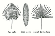 Fan Palm (Livistona Australia), Sago Palm (Cycas Revolut), Sabal Bermudana Leaf. Ink Black And White Doodle Drawing In Woodcut Style.
