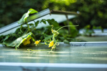 Selective Focus Shot Of Cucumber Flowers