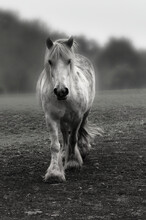 A Young Friendly Cob / Horse Trots Towards Me Across The Paddock.