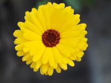 Calendula Officinalis, Die Ringelblume Kommt In Verschiedenen Farben Und Formen Vor