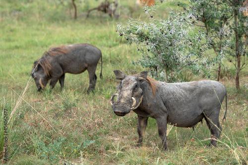Warthog, Phacochoerus africanus