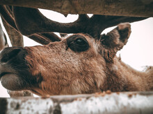 Server Deer Brown, Behind A Birch Fence, Close-up, Hairy Deer Muzzle, Slightly Protruding Antlers