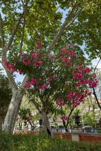 Piękne, Różowe Kwiaty I Zielone, Wysokie Drzewa W Mieście.