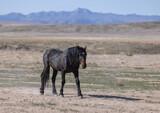 Fototapeta Natura - Majestic Wild Horse in the Utah Desert