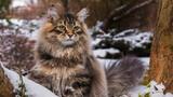 Fototapeta Zwierzęta - Kot Syberyjski w zimowym otoczeniu
