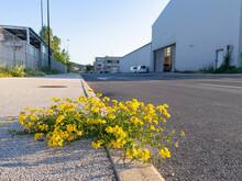 LOW ANGLE: Lotus Corniculatus Grows Roadside In District Full Of Warehouses.