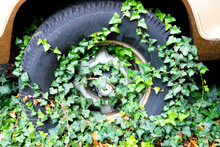 The Wheel Of The Old Car Is Overgrown With Evergreen Ivy Leaves.