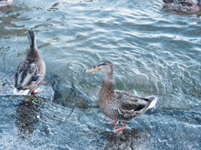 Two Female Ducks At Lake Starnberg