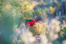 Australian King Parrot (Alisterus Scapularis). Male. Australian Native Parrot. Australian Bird.