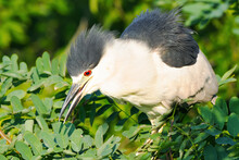 A Young Black-crowned Night Heron In Tree