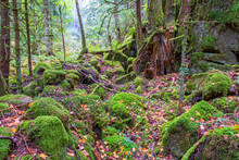 Ravine In A An Old Coniferous Forest With Green Moss