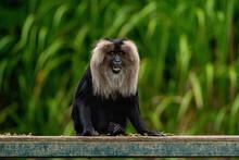 Animal World - Lion-tailed Macaque (Macaca Silenus)
