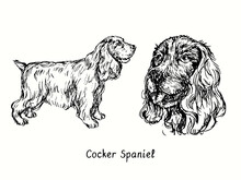Cocker Spaniel Collection Standing Side View And Head. Ink Black And White Doodle Drawing In Woodcut Style.