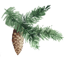 Spruce Branch With Cone Watercolor Isolated On White Background Illustration For All Prints.