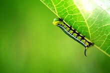 Worm,green Leaf Worm,worms,leaf Miner,caterpillar Green Leaf Worm,leaf,worm Farm,days Green Leaf Worm,green Leaf Worm Farm,leaf Eating Worms,leaf Miner Treatment,worm World,worm On Leaves,the Worm Wor