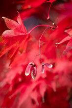 Red Japanese Maple Tree Seed Pod