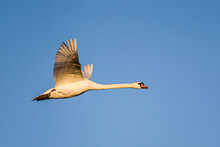 Mute Swan Flying Past Against A Clear Blue Sky Over A London Park, UK