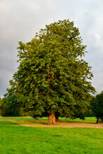 Horse Chestnut Tree With Acorns In The Park In Autumn, Coundon, Coventry, England, UK