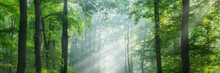 Panoramic Green Forest Illuminated By Sunbeams Through Morning Fog
