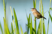 Marsh Wren Singing On Reeds.