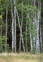 Birch Trees On The Outer Edge Of The Forest With A Grass Meadow In The Foreground.
