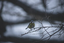 Eurasian Blue Tit, Cyanistes Caeruleus Bird Perched On Tree Branch At Winter Time During  Snowfall. Selective Focus