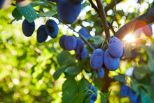 A Bunch Of Ripe Plums On A Branch With Sun Rays In The Background