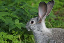 Close-up Of The Grey Rabbit Sitting In Sunny Garden