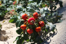Wild Rose Hips Growing On A Baltic Sea Dune, Close-up