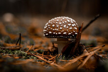 Selective Focus Of Toxic And Poisonous Fly Agaric Mushroom