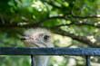 głowa strusia w zoo
