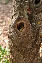 Two Small Birds In A Nest Inside A Tree