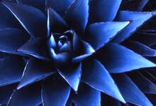 Blue Agave Cactus Santa Fe, New Mexico,