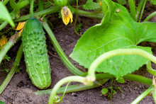 Ripe Cucumbers In The Garden In Village
