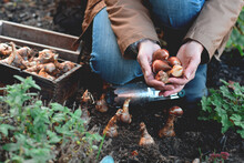 Woman's Hands Holding Spring Tulip Bulbs Ready For Planting In The Fall