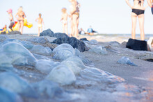 Many Large Jellyfish And People Standing On The Sandy Beach