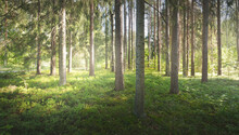 Majestic Evergreen Forest At Sunrise. Mighty Pine And Deciduous Trees, Moss, Fern, Plants. Morning Dew, Soft Sunlight, Sunbeams, Fog, Haze. Idyllic Summer Landscape. Pure Nature, Environment, Ecology