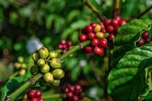 Arabica And Robusta Tree In Coffee Plantation, Buon Me Thuot Or Buon Ma Thuot, Dak Lak, Vietnam.