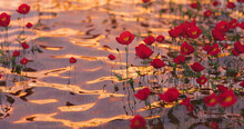 Poppies On Clear Water With Light Glints
