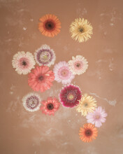 Colorful Flower Gerberas Floating In Water With Paint In Conceptual Art