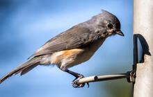 Tufted Titmouse At The Feeder