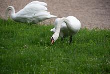 Selective Focus Shot Of Mute Swans