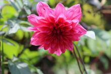 Pink Dalea Flower Blooming In The Garden